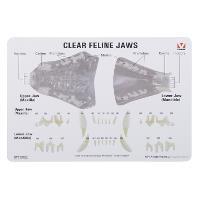 KRUUSE Feline jaw model with information card